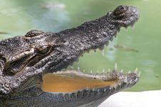 Free Alligator Stock Photo - 8200880