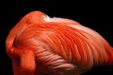 Free Flamingo - Isolated On Black Stock Photo - 8201630