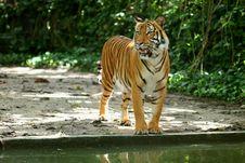 Free Tiger Royalty Free Stock Image - 8201986