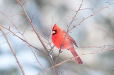 Free Male Northern Cardinal In A Tree Royalty Free Stock Photo - 8203185