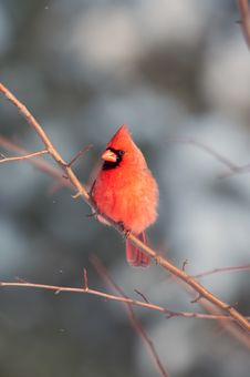 Free Male Northern Cardinal In A Tree Royalty Free Stock Images - 8203189