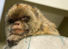 Free Gibraltar Monkey Stock Photo - 8203320