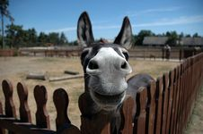 Free Donkey Royalty Free Stock Photos - 8203438