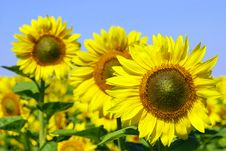 Free Sunflowers Stock Image - 8203801