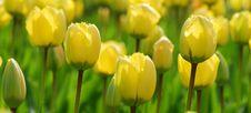 Free Tulips Stock Image - 8203821