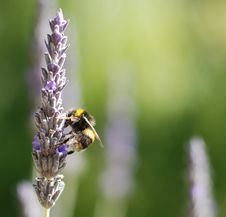 Free Bee On Lavender Royalty Free Stock Photos - 8203918