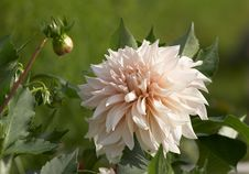 Free White Dahlia Stock Images - 8204164