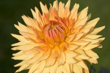 Free Orange Dahlia Royalty Free Stock Image - 8204166