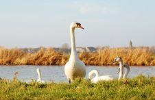 Free Goose Royalty Free Stock Photo - 8204925