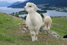 Free Sheep Royalty Free Stock Images - 8205609