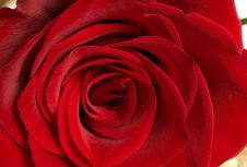 Free Dark Red Rose Macro Royalty Free Stock Photo - 8205825