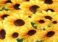 Free Sunflower Royalty Free Stock Image - 8205886