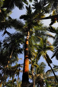 Free Palm Trees Perspective From Down To Top Royalty Free Stock Photo - 8206145
