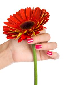 Free Red Gerbera In Woman Hand Royalty Free Stock Photography - 8206177
