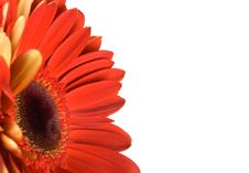 Free Red Gerbera With Blank Place For Your Text Royalty Free Stock Photo - 8206185
