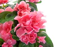 Free Cloeup To Flower In Pot. Royalty Free Stock Photo - 8206215