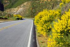 Scoth Broom In Bloom Royalty Free Stock Images
