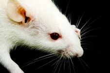 Free White Rat Royalty Free Stock Image - 8209606