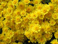Free Chrysanthemums Royalty Free Stock Photos - 8217368