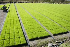 Rice Seedlings At A Nursery Stock Photography