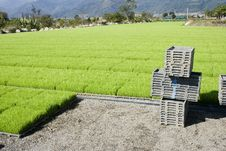 Rice Seedlings At A Nursery Stock Photo