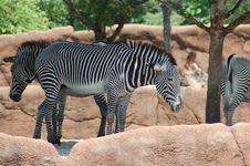 Free Zebra Royalty Free Stock Photography - 8211857
