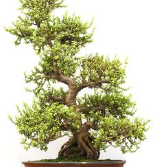 Free Bonsai Tree Stock Photo - 8212800