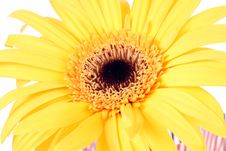 Free Gerber Daisy Stock Photography - 8214662