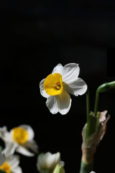 Free Narcissus Stock Images - 8215384