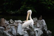 Free Pelican Stock Image - 8216191