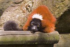 Free Lemur Royalty Free Stock Photos - 8218348