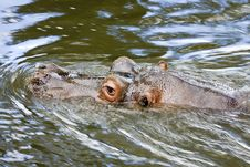 Hippo In The Water Royalty Free Stock Images