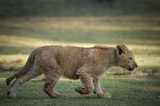 Free Young Lion Stock Photography - 8219002