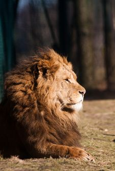 Free Male Lion Stock Photography - 8219012
