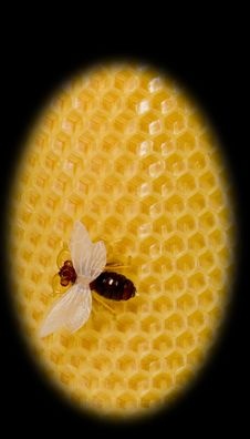 The Bee Sits On Yellow Equal Honeycombs Royalty Free Stock Photos