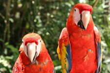 Two Scarlet Macaw Parrots Royalty Free Stock Images