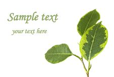 Ficus Leaf Stock Photography