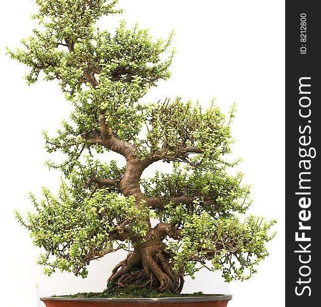 Bonsai Tree Free Stock Images Photos 8212800 Stockfreeimages Com