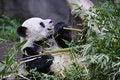 Free Giant Panda Stock Photography - 8226642