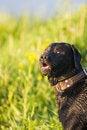 Free Labrador Royalty Free Stock Images - 8227259