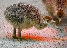 Ostrich Nestling 1 Stock Photography