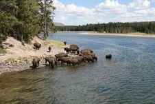 Free Drinking Buffalo Royalty Free Stock Photo - 8221845