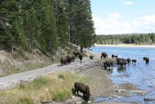 Free Yellowstone Buffalo Stock Photography - 8221852