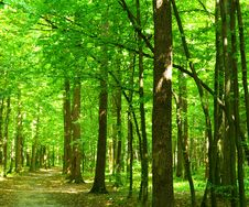 Free Green Forest Royalty Free Stock Photography - 8222217