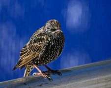 Free Starling On A Pole Royalty Free Stock Images - 8223659
