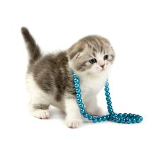 Free Scottish Fold Kitten Stock Photo - 8223810