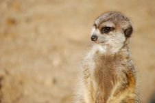 Free Standing Suricata Royalty Free Stock Photo - 8224625