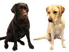 Free Labrador Retrievers Stock Photo - 8225150