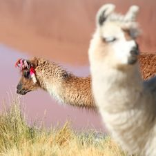 Free Lama Near Laguna Colorado Royalty Free Stock Photo - 8225435