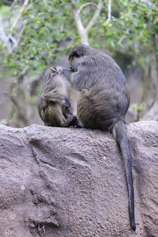 Free Monkey Mother And Child Royalty Free Stock Photo - 8225525